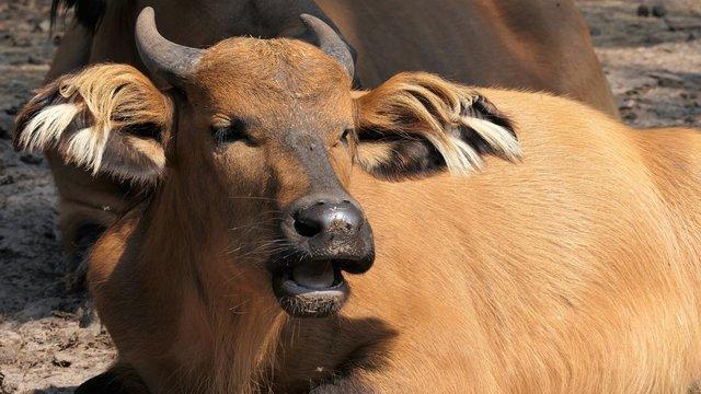 African forest buffalo female lying on the sun