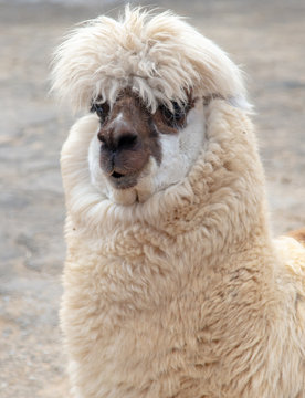 Portrait of llama in wool at the zoo