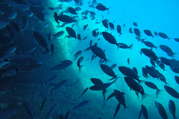 A flock of Bermuda Chubs Swimming under the water in the sea near coral reef. Underwater photo Wall mural
