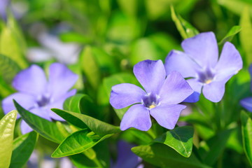 Flowers of vinca minor
