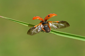 Fototapeta close up of ladybug ready to take off from blade of grass obraz