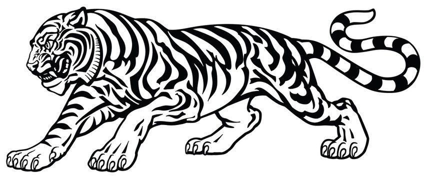 angry tiger in the aggressive attacking pose . Black and white tattoo style vector illustration