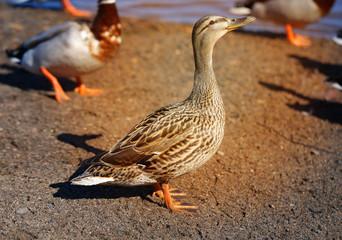 Macro photo of a big birds duck