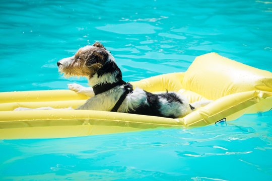 Dog floating on a mattress in a swimming pool