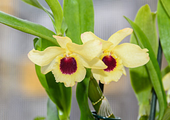 Yellow imperial orchid branch flower, Dendrobium Frieda Bratanata