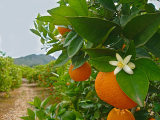 Valencian orange and orange blossoms. Spain. Spring harvest Wall mural