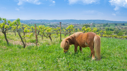 Brown little pony next to a vineyard against a blue cloudy sky. Farming and rural landscape with...