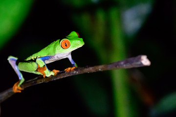 red eyed tree frog on a plant