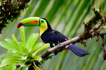 Photo sur Aluminium Toucan Keel billed Toucan in a tree