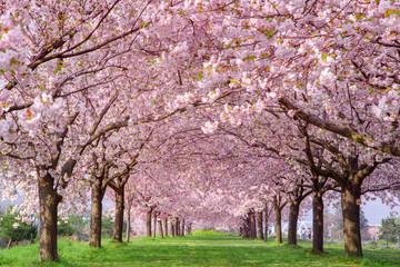 Foto op Plexiglas Kersenbloesem 桜の並木 千曲川河川公園・長野県小布施町