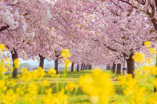 桜の並木と菜の花 千曲川河川公園・長野県小布施町