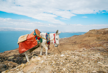 Photo sur Plexiglas Ane Hill climb of donkey against the backdrop of beautiful naturel Jordan mountains and Dead sea