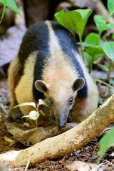 Tamandua foraging for food