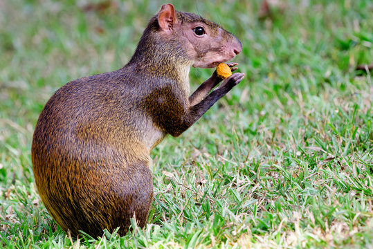 Agouti feasting on a nut