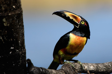 Collared Aracari on a branch