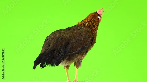 cluck Italian partridge chicken isolated on green screen