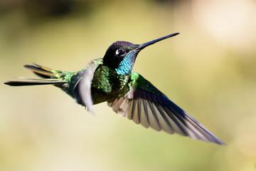 Magnificent hummingbird in flight