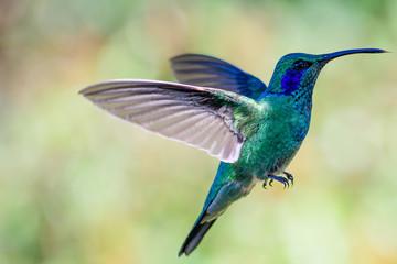Green Violetear in flight