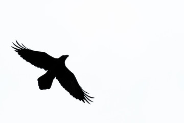 Flight silhouette of Raven (Corvus corax), Isolated, Germany