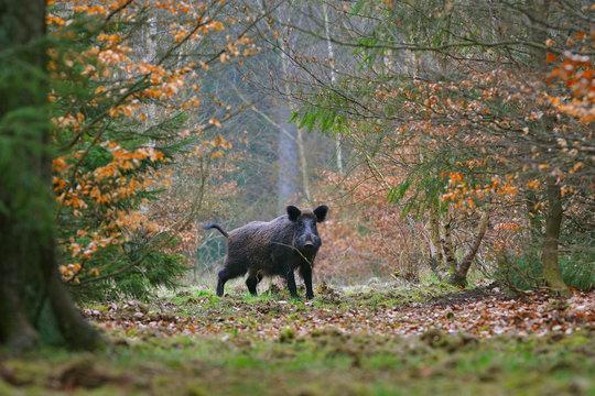 Wild boar (Sus scrofa), Tusker, Germany, Europe