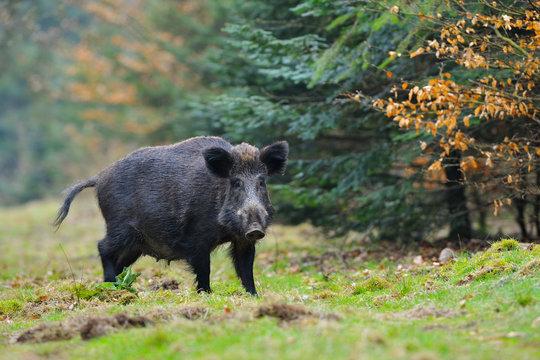 Wild boar (Sus scrofa), Germany, Europe