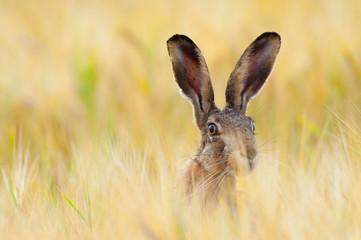 European brown hare in cornfield, Lepus europaeus, Germany, Europe