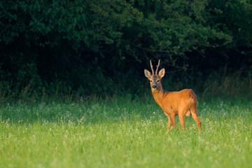 Western roe deer (Capreolus capreolus) in summer, Germany, Europe