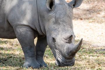 Foto auf Acrylglas Nashorn Grote zwarte neushoorn op de savanne van Zuid Africa
