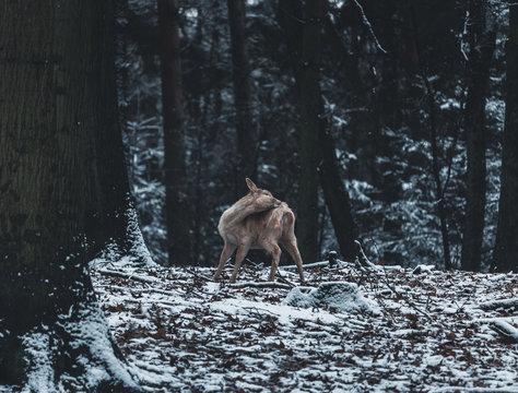 fox in snowy forest