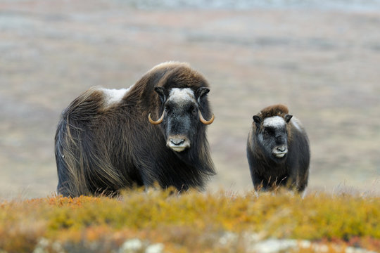 Muskoxes, Cow and calf, Dovrefjell National Park, Norway, Europe