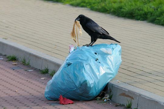 Carrion crow on a trash bag, Germany, Europe