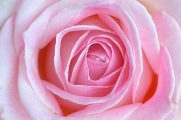 Pink rose, Close-up, Germany