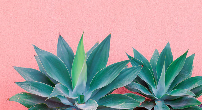 Plants on pink fashion concept. Aloe on pink wall background. Canary island