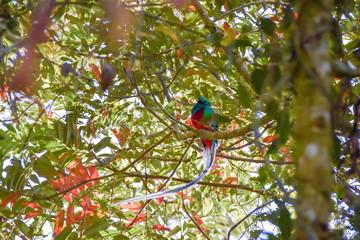 Resplendent quetzal in a tree