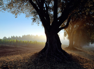 Silhouetted Tree With Vineyard In The Background, Napa Valley, California, Usa.