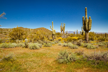 The landscape of the Sonoran Desert in full sunlight.  This image has an exceptional amount of lush green vegetation and clear blue skies as well as several saguaro cacti and palo verde trees. Fotoväggar