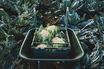 High angle close up of plastic crate with freshly harvested cauliflower in a wheelbarrow.