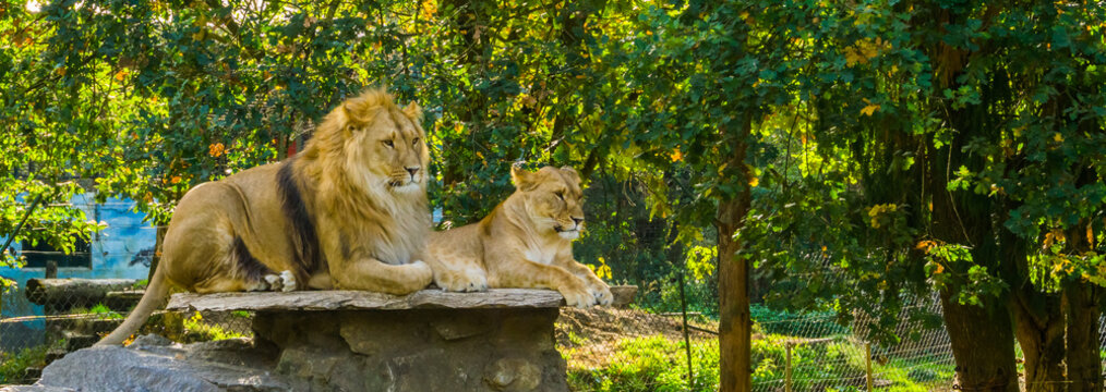 lion couple, male and female lion laying together on a rock, Wild cats from Africa, Vulnerable animal specie