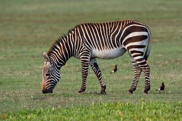 Canvas Prints Zebra Cape Mountain Zebra (Equus zebra zebra) in coastal national game reserve in South Africa.