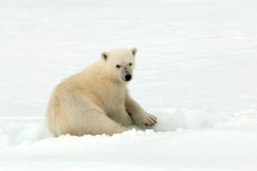Deurstickers Ijsbeer Polar Bear (Ursus maritimus) standing on ice flow of Svalbard, arctic Norway. A threatened species from the arctic.