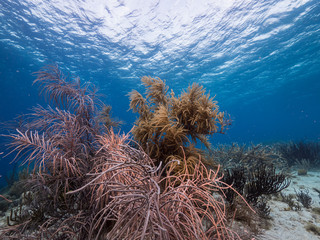 Seascape of coral reef in the Caribbean Sea around Curacao at dive site Playa Hundu with soft coral