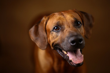 Studio shot of a Rhodesian Ridgeback Dog on brown Background