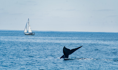 Blue Whale Tail Above the Water with Sailboat