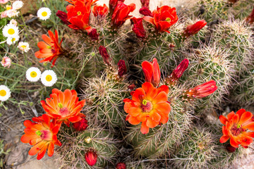 Claret Cup Cactus mixes with other native plants in Organ Mountains-Desert Peaks National Monument in New Mexico