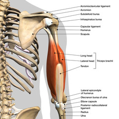 Labeled Anatomy Chart of Male Triceps Muscles, Connective Tissue and Bones on White Background
