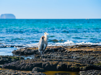 Giant Blue heron on rock in Galapagos Islands
