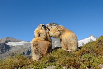 Alpine marmots, Marmota marmota, Hohe Tauern National Park, Austria, Europe