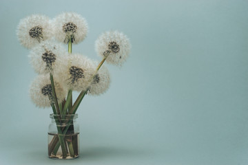 Beautiful Danelions in glass vase on a gray background.