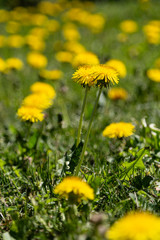 dandelion in bloom on lawn