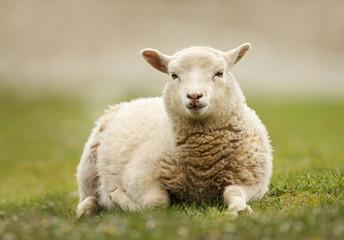 Foto op Canvas Schapen Close up of a Shetland sheep laying on green grass.